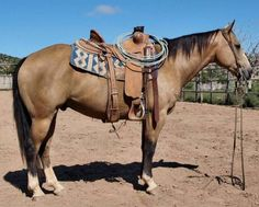 Buckskin Ranch Gelding for Sale - For more information click on the image or see ad # 38995 on www.RanchWorldAds.com