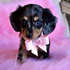 So stinkin' cute!!!     Mini dachshund <3
