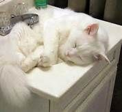 White cats - Bing Images