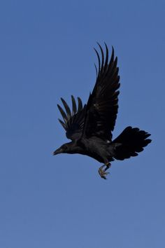 Diving down to pick up on every shiny thing...just like a black crow flying..in a blue sky. Joni Mitchell