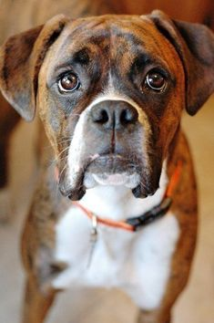 I Love Boxers :) that face melts my heart... And look at that awesome brindle color!!!! #boxerdog