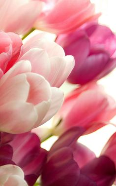 Awesome collection of Pink Tulips (Flowers) wallpapers HD - - with Pink Tulips wallpaper pictures for your desktop, Smart Phone or tablet. Pink Tulips, Tulips Flowers, Flowers Nature, Pretty Flowers, Spring Flowers, Planting Flowers, Beautiful Flowers Pictures, Flower Pictures, Amazing Flowers