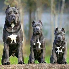 From Cane Corso Spunk Gang Cane Corso Italian Mastiff, Cane Corso Italiano, Cane Corso Mastiff, Cane Corso Dog, Cane Corso Puppies, Dog Breeds List, Best Dog Breeds, Best Dogs, Huge Dog Breeds