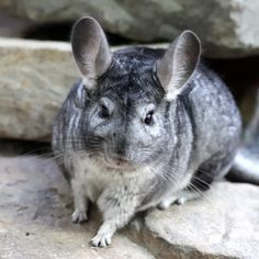 Chinchillas have long hind limbs which are adapted for leaping. Description from chinchilla.co. I searched for this on bing.com/images