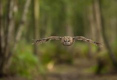 Tawny owl by Nick Holland