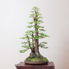 An American Bonsai master localises an ancient Japanese art form Ficus Bonsai, Bonsai Garden, Redwood Bonsai, Sequoia Sempervirens, Bonsai Tree Types, Parks, Fall Shows, Bonsai Styles, Terrarium Plants