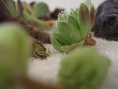 How to cut and re-root succulent plants