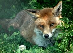 Red Fox by Dawn on tulipnight