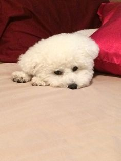 Sweet dreams, lil' Bichon.