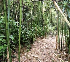 Two New Bamboo Genera Found in Africa Aug 23, 2013 by Sci-News.com Biologist Dr Chris Stapleton from the United Kingdom has described two new genera of African mountain bamboos.