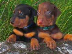 Doberman pinscher puppys