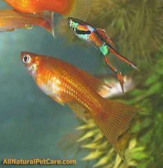 Lyretail Sword & Hybrid Endler x Guppy Fish in our Aquarium