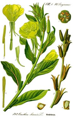 Onagre - Oenothera biennis -