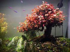 Biotope Aquarium, Aquarium Fish Tank, Planted Aquarium, Aquascaping, Freshwater Aquarium Plants, Cool Fish Tanks, Aquarium Landscape, Bonsai, Aquarium Design