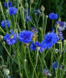 Cornflower-blue ( Bachelor Button) who knew folklore said cornflowers were worn by young men in love