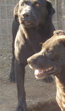 Bigalo is the son of Beulah, the lab/basset mix also on our site. Bigalo is a stunningly handsome boy with more of a lab look than Beulah, but still having a shorter, stockier body type than most labs. He is playful but not overbearing--he is a...
