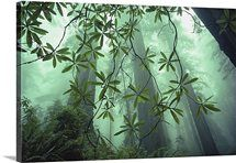 Redwood trees soar to 350 feet or more, Redwood National Park, California Cool Posters, Canvas Art Prints, Big Canvas, Nature Photos, National Parks, Wall Art, Abstract, Trees, California