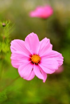 Mademoiselle Mermaid: Friday Flower Pick : Cosmos