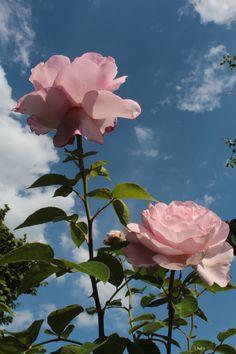 la Rose du petit Prince (Delbard)