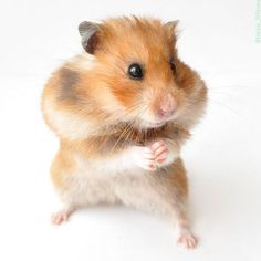 From Tiny hamster and her tiny hands. Hamster has 5 fingers on… Hamster Treats, Cute Hamsters, Cute Little Animals, Guinea Pigs, All Pictures, Instagram Feed, Animals And Pets, Photography, 5 Fingers