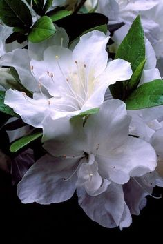 Close-up of pair of white azalea flowers, rhododendron mucronatum 'Alba Magna', Vancouver, BC Types Of Flowers, White Flowers, Beautiful Flowers, Beautiful Pictures, Trees And Shrubs, Trees To Plant, Plant Leaves, White Azalea, Moon Garden