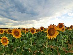 Sonnenblumenfeld im Weinviertel #sonnenblume #sunflower #wein4tel Landscape Photography, Nature Photography, Sunflower Fields, Land Scape, Flowers, Plants, Scenery Photography, Wine, Summer
