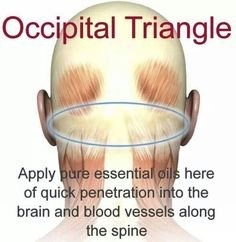 Occipital triangle                                                                                                                                                                                 More
