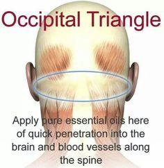 Occipital triangle                                                                                                                                                                                 More