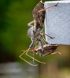 Rare shot of the predatory Assassin bug injecting venom into the body of a Stink or Shield bug