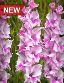 """Ambience Gladiolus;  Height: 36-48""""  Bulb Size: 12/14 cm  Deer Resistant: Yes  Perennializing: Yes  Grow In Containers: Yes  Cutflower: Yes  Hardiness Zone: 8 - 10  Suitable Zone: 4 - 11  Planting Time: Spring  Planting Depths: 3-4""""  Planting Spacing: 12-15"""""""