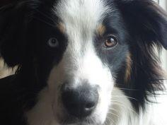 What's a good all around farm dog breed? - I'm thinking maybe Anatolian Shepherd or English Shepherd. English Shepherd, Australian Shepherd, Anatolian Shepherd, Shepherd Dogs, Rare Dog Breeds, Farm Dogs, Herding Dogs, Dog Photos, Beautiful Dogs