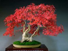 Japanese Maple ♀️Bonsai More Pins Like This At FOSTERGINGER @ Pinterest ♀️