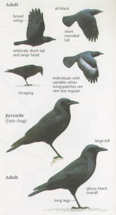 from The Sibley Field Guide to Birds of Western North America by David Allen Sibley