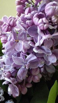 From pinner - Lilac my love  from my auntie garden