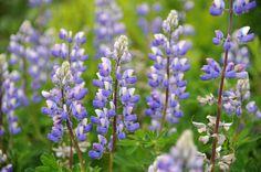 Alaskan lupinus | Alaska Lupinen (Lupinus nootkatensis) von Heribert Wettels