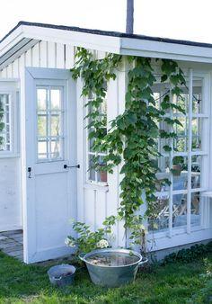 Syksy saapui yhdessä yössä ja kasvihuoneessa on jäljellä enää ainoastaan pelargonit ja pari tomaattia. Nämä lienevät tämän kauden viimeiset kesäisemmät kuvat kasvihuoneesta sillä talvea kohti mennään.