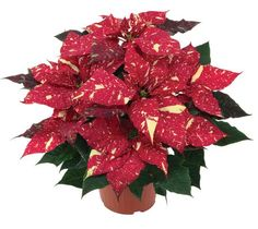 Poinsettia Primero Glitter Plant Nursery, Red Glitter, Poinsettia, Garden Plants, Landscape Design, Christmas Wreaths, Holiday Decor, Flowers, Color
