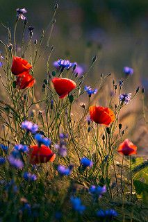 Poppies and cornflowers | by Taras L