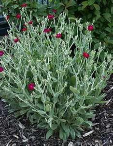 lychnis abbotswood rose