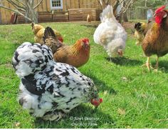 This flock of chickens ranging over lawn is a pretty site, but chickens prefer taller and more diverse vegetation.
