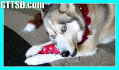Dogs Opening Christmas Presents - Santa Paws Came! Puppy Christmas