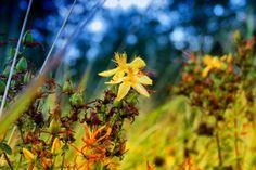 Potřebujete do života více slunce? Třezalka vám pomůže - Nature, Plants, Grass Field, Dom, Preserves, Naturaleza, Preserve, Preserving Food, Plant