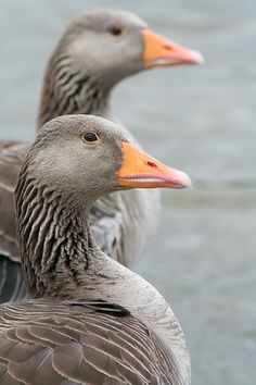 Geese in Hyde Park, London.