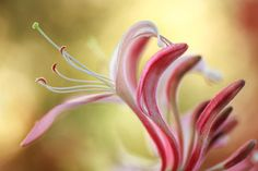 Photograph Honeysuckle by Mandy Disher on 500px