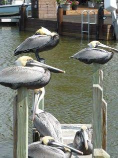 Pelikane bei Everglade City