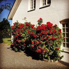 Rosa Kordesii 'Flammentanz' | Engångsblommande klätterros som är en av de mest uppskattade klätterrosorna. Rikblommande med tätt fyllda, cinnoberröda blommor. Kan klättra upp i träd. Skuggtålig. Får många nypon. Passar vid väggar, plank, pergolor och kraftiga spaljéer. Förmodligen den mest härdiga av alla röda klätterrosor. Vill man ha en härdig, frisk, lättodlad, röd klätterros är 'Flammentanz' att rekommendera. Zon 1-5.