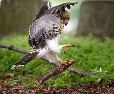 A young Red-tailed Hawk seems to be practicing its prey carrying techniques with this stick. Pretty Birds, Love Birds, Red Tailed Hawk, Vertebrates, Birds Of Prey, Raptors, Wild Birds, Predator, Eagles