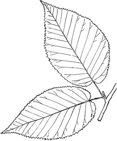 double birch leaf outline - Google Search