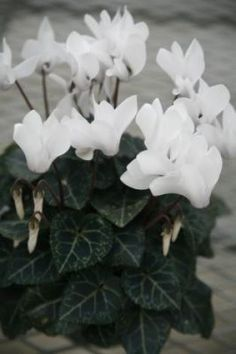 49 best winter containers images on pinterest window planter boxes white winter flowers mightylinksfo