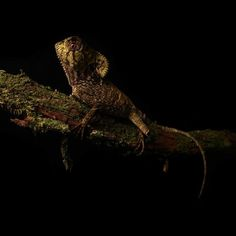A Helmeted Iguana from Panama resting on a moss log mimicking a lifeless patch of vegetation. #reptile #iguana #wildlife #nature #lizard #tropical #tropics #panama #conservation #canon #black #green #camaflouge